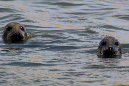 Two Seals at Forvie Sands