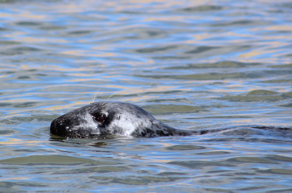 A swimming seal at Forvie Sands
