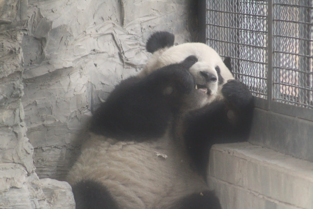One of the many pandas in the zoo