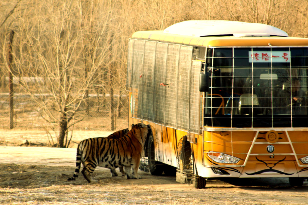 The tour bus stopping to let tourists feed meeat to the tigers at the Siberian Tiger Park