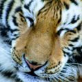 Close up of a Siberian Tiger